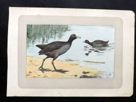 Mahler 1907 Antique Bird Print. La Foulque. Coot